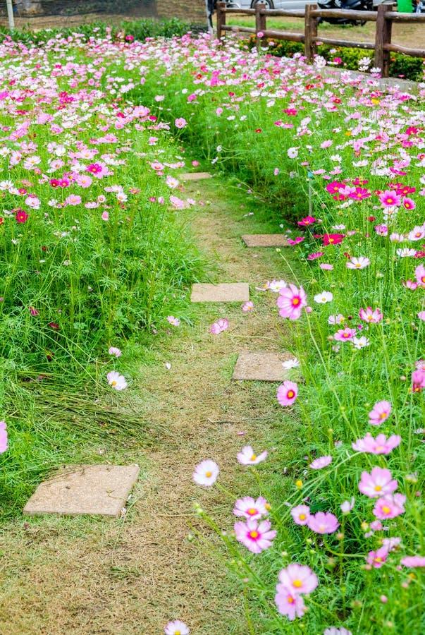 Flor do cosmos da passagem no jardim imagens de stock