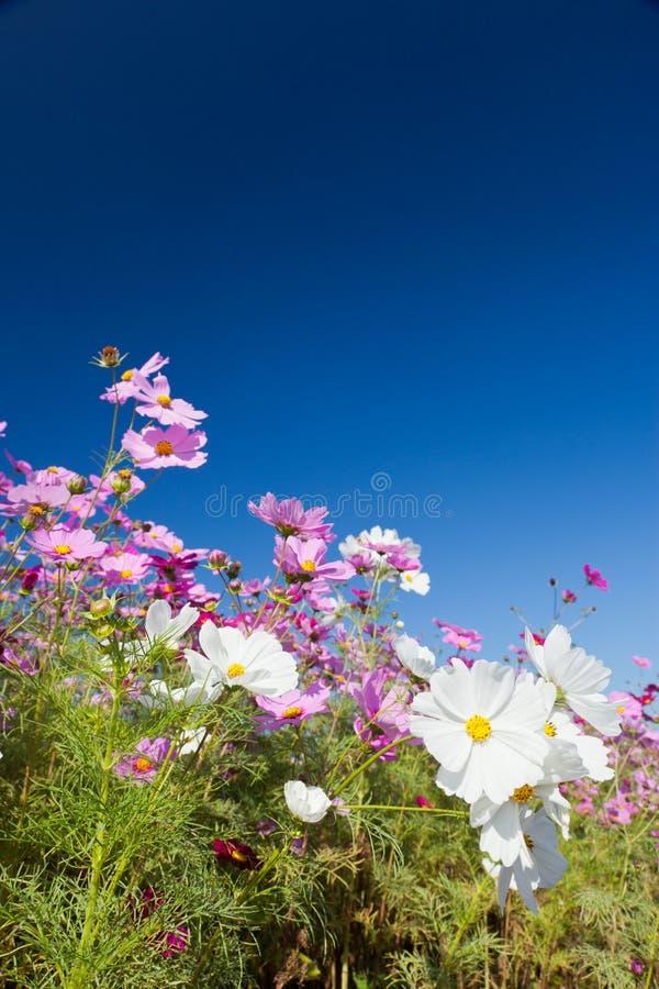 Flor do cosmos e o céu fotos de stock royalty free