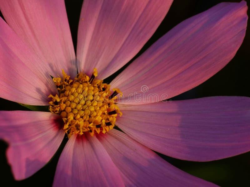 Flor do cosmos em detalhe foto de stock royalty free