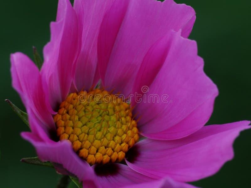 Flor do cosmos em detalhe fotografia de stock royalty free