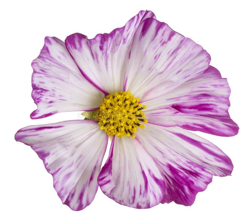Flor do cosmos isolada imagens de stock royalty free