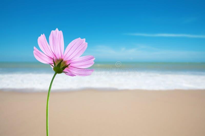 Flor do cosmos na praia fotos de stock royalty free
