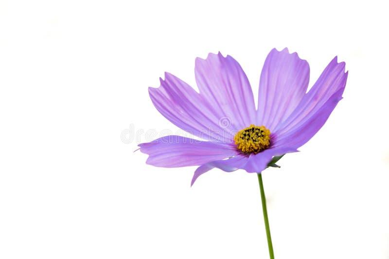 Flor do cosmos no fundo branco fotos de stock royalty free