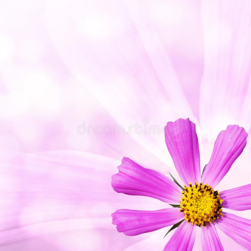 Flor do cosmos no fundo cor-de-rosa fotografia de stock royalty free
