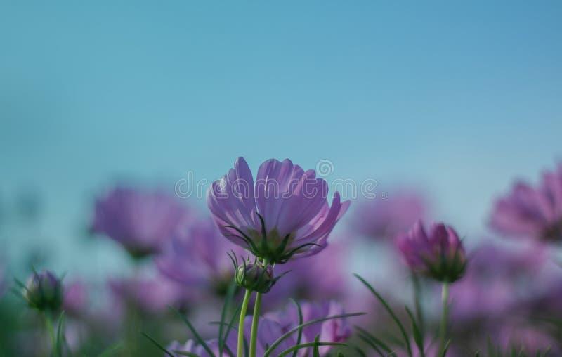 Flor do cosmos que floresce belamente fotografia de stock royalty free
