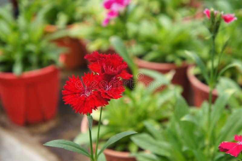 Flor do cravo-da-índia plantada em um potenciômetro pequeno no berçário da planta ilustração stock