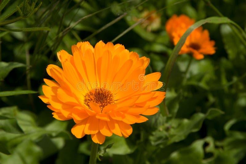 Flor do cravo-de-defunto fotos de stock royalty free