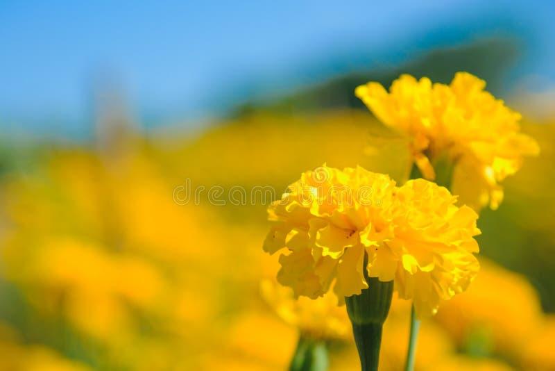 Flor do cravo-de-defunto africano na exploração agrícola fotos de stock