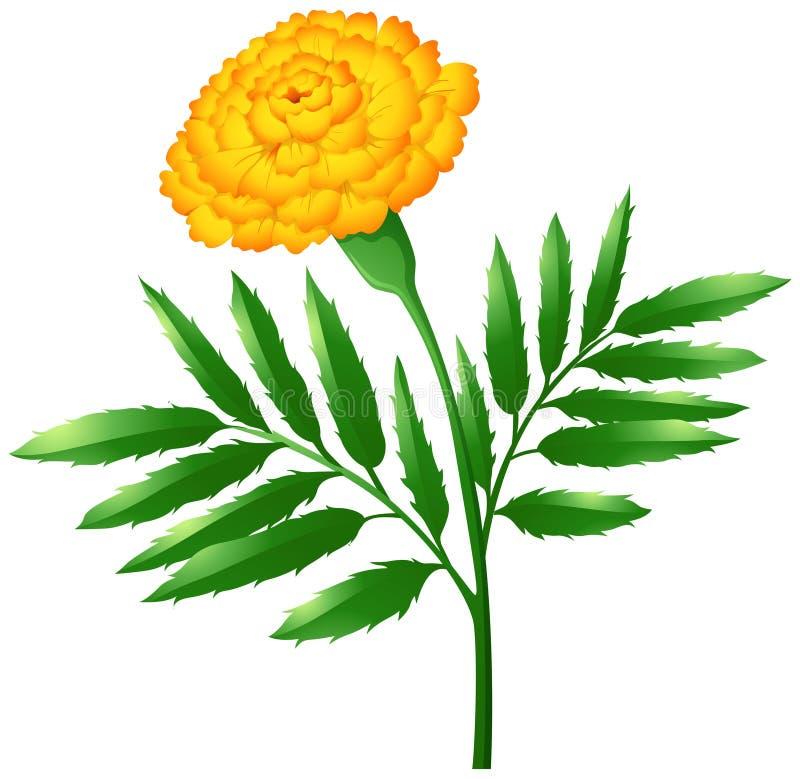 Flor do cravo-de-defunto com folhas verdes ilustração stock