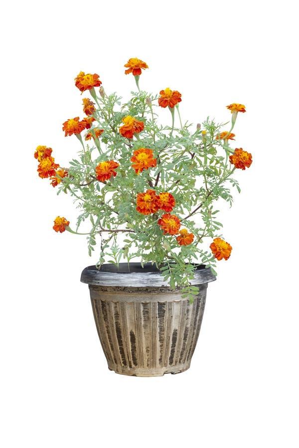 Flor do cravo-de-defunto francês ou do calendula que floresce no potenciômetro isolado no fundo branco imagens de stock royalty free