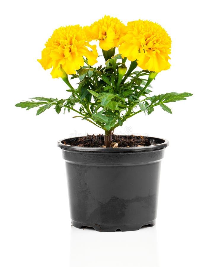 Flor do cravo-de-defunto no potenciômetro imagens de stock royalty free