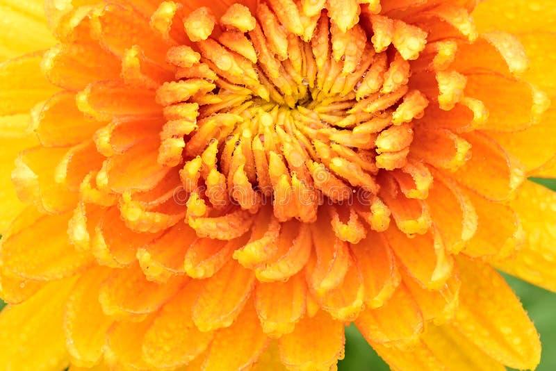 Flor do crisântemo fotografia de stock