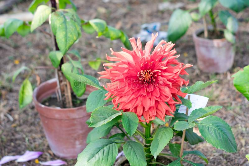 Flor do crisântemo da forma cor-de-rosa do cebolinho ou do Allium da cor Flores de amor de uma flora do sol na mola adiantada ao  fotografia de stock