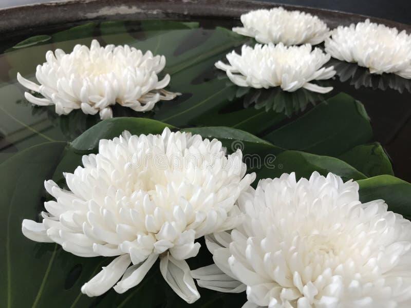 Flor do crisântemo ou dos Mums imagens de stock royalty free