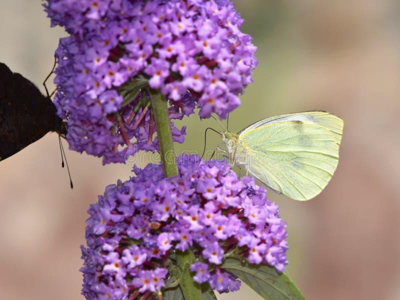 Flor do davadii de Buddleja e borboleta de couve imagem de stock