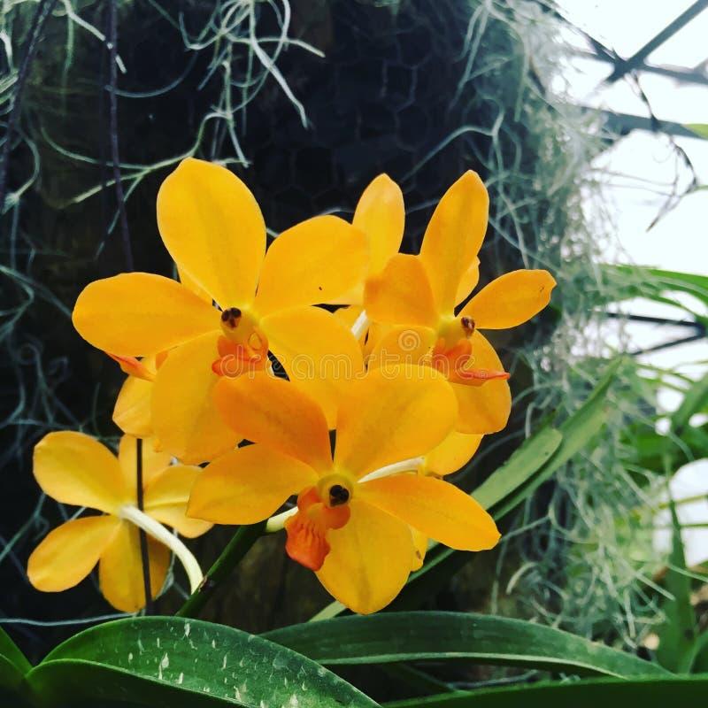 A flor do Dendrobium - orquídea foto de stock royalty free