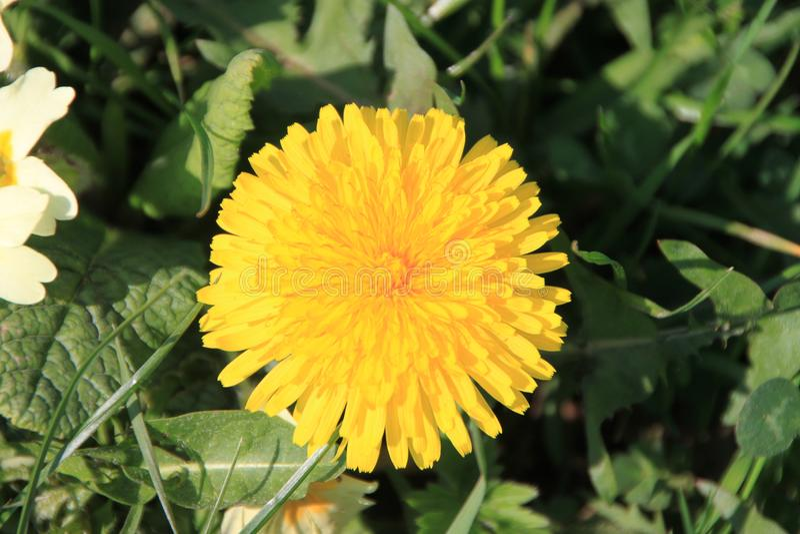 Flor do dente-de-leão foto de stock