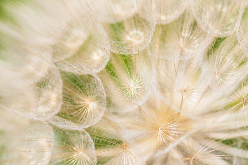 Flor do dente-de-leão imagens de stock royalty free