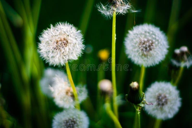 Flor do dente-de-leão cercada pela grama, fundo, macro imagem de stock