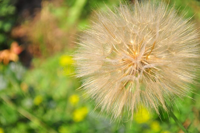 Flor do dente-de-leão cercada pelas hortaliças foto de stock
