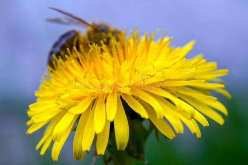 Flor do dente-de-leão com uma abelha no fundo foto de stock royalty free