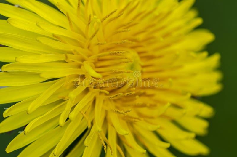 Flor do dente-de-leão comum no campo imagens de stock royalty free