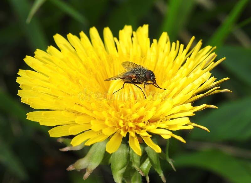 Flor do dente-de-leão e mosca amarelas bonitas, Lituânia foto de stock