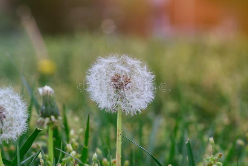 A flor do dente-de-leão em sementes do prado dirige na bola macia do sopro do campo imagem de stock royalty free