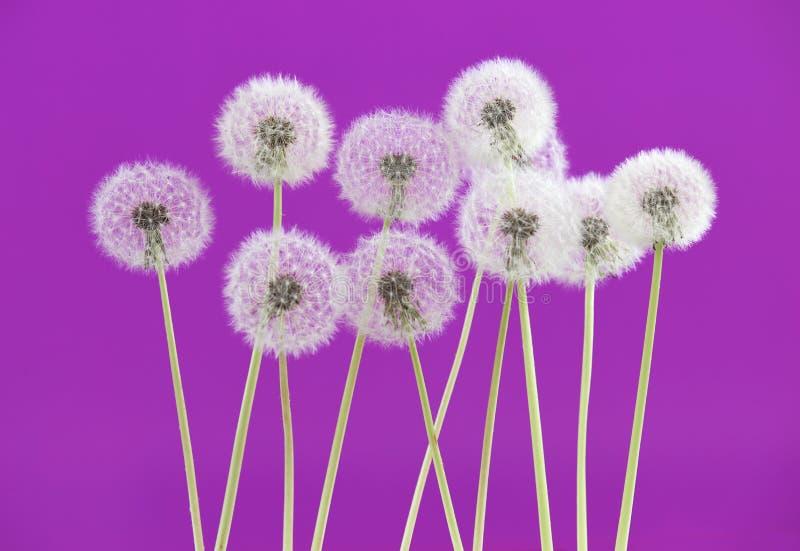Flor do dente-de-leão no fundo cor-de-rosa da cor, objeto no contexto do espaço vazio, natureza e conceito da estação de mola imagens de stock royalty free