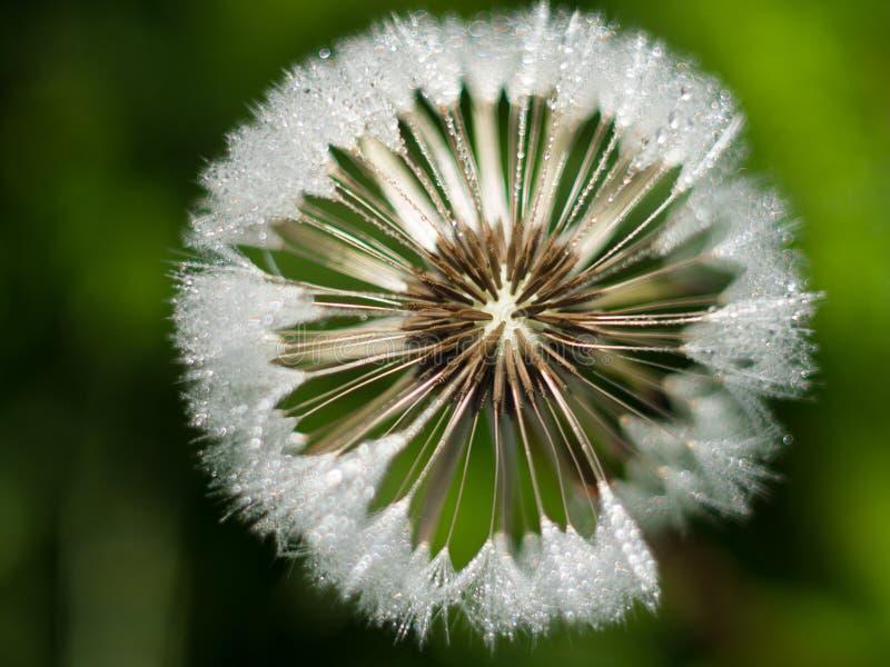 Flor do dente-de-le?o com gotas efervescentes do orvalho foto de stock