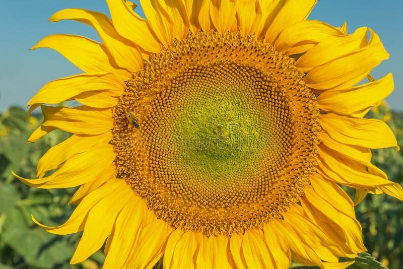 Flor do depósito de girassol foto de stock royalty free