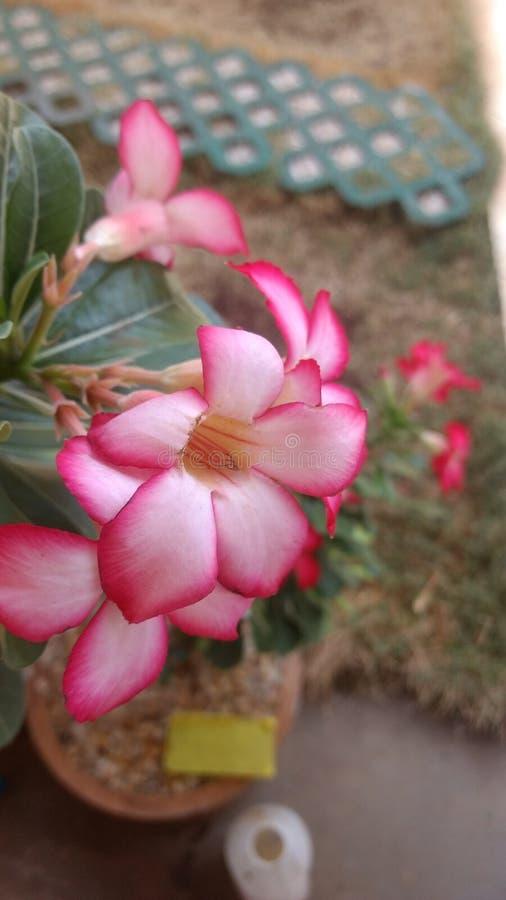 Flor do deserto foto de stock