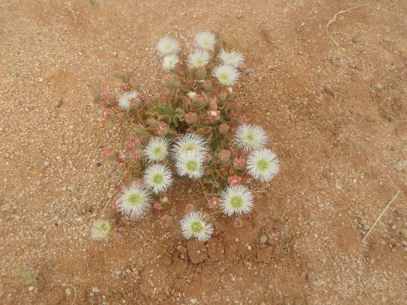 A flor do deserto com rosas brancas parece como na estação das chuvas fotografia de stock royalty free