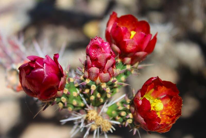 Flor do deserto em um cacto de Cholla fotografia de stock