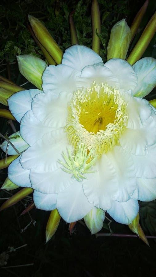 Flor do dragão do fruto imagens de stock royalty free