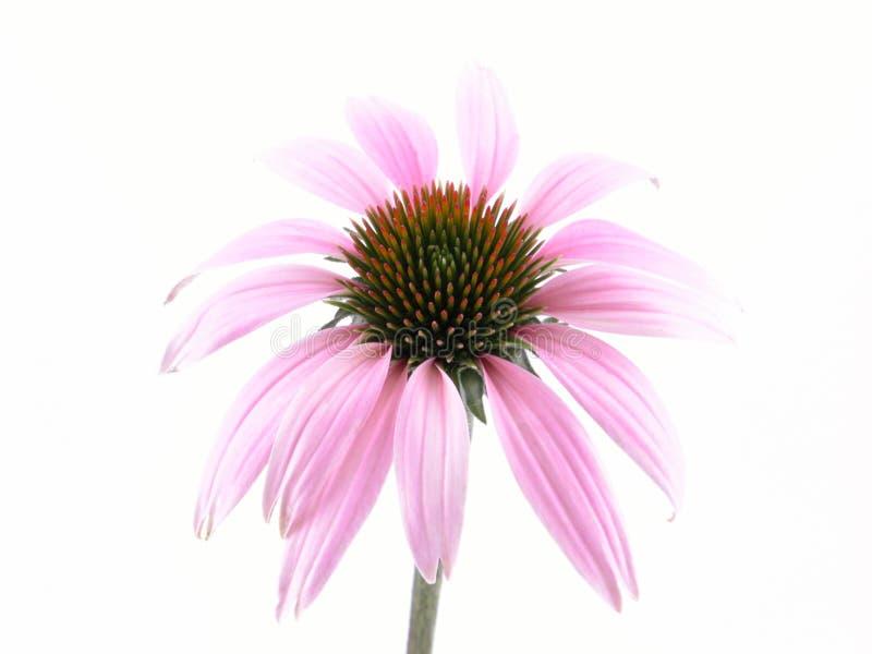 Flor do Echinacea foto de stock royalty free