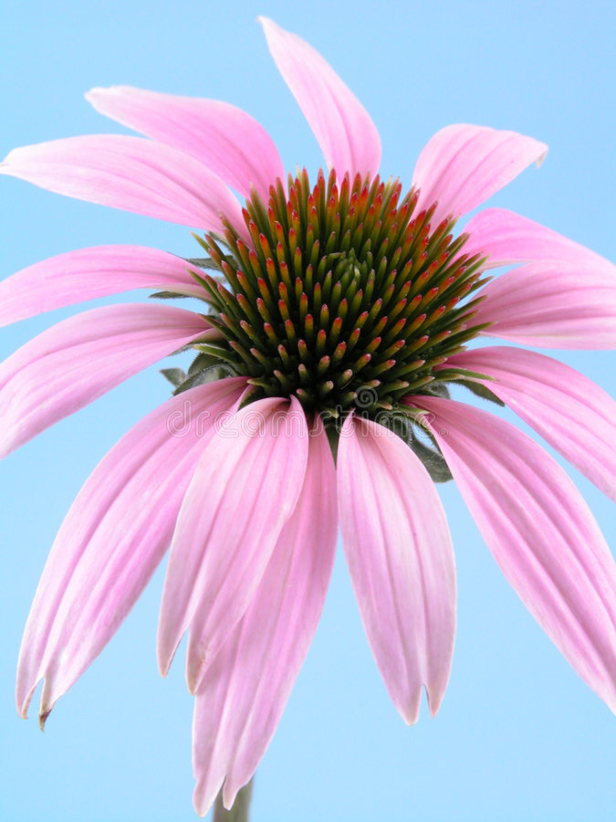 Flor do Echinacea fotos de stock royalty free