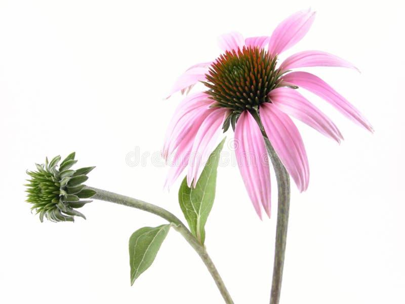 Flor do Echinacea imagens de stock