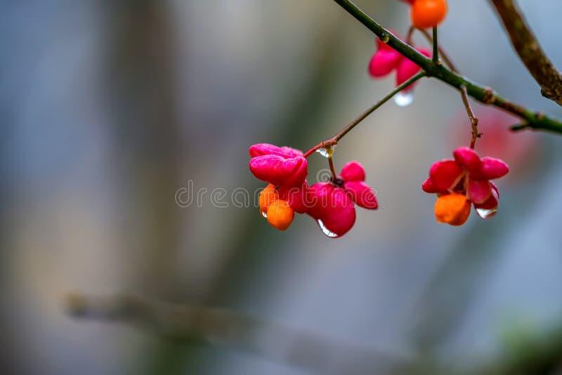 Flor do eixo ou europaeus europeu do Euonymus foto de stock