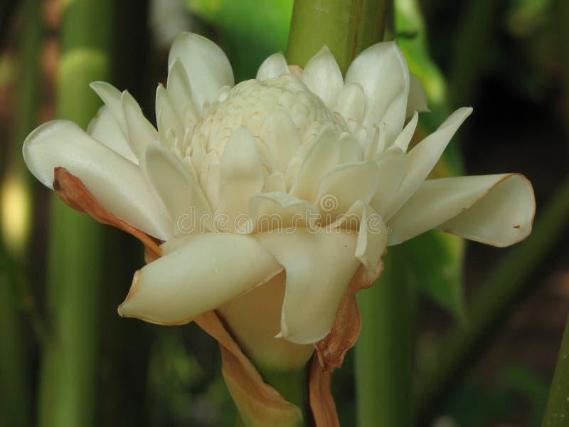Flor do elatior de Etlingera ou lírio da tocha ou gengibre da tocha ou flor do gengibre imagens de stock royalty free