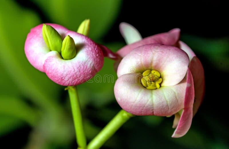 Flor do espinho de Christs fotografia de stock
