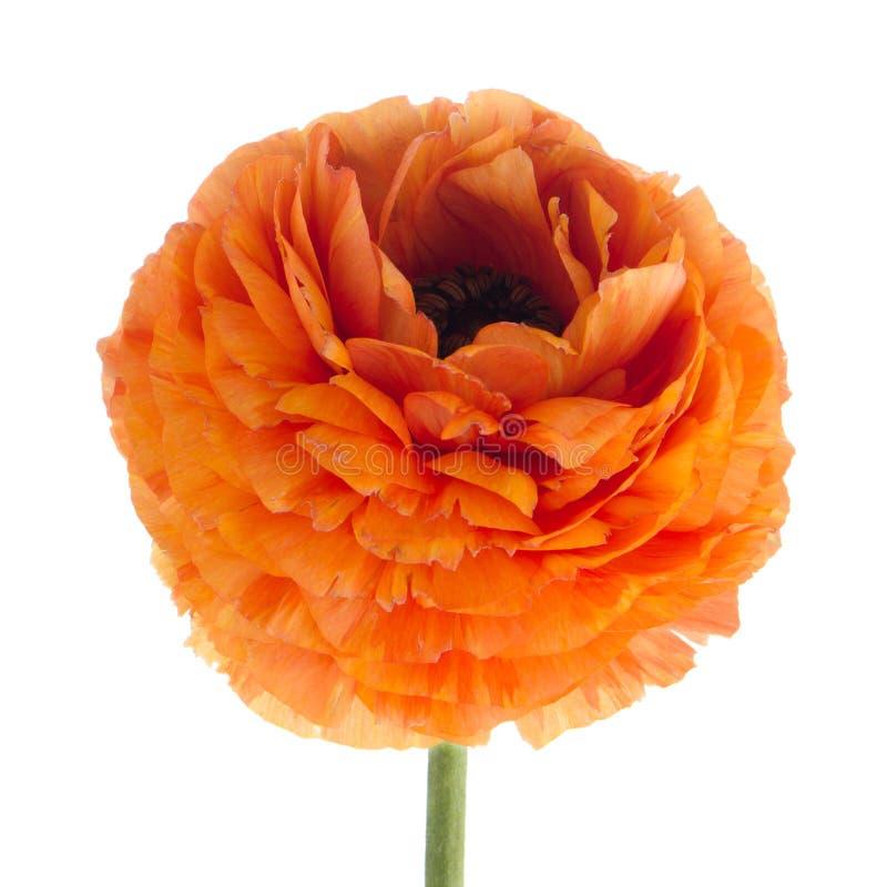 Download Flor do Eustoma foto de stock. Imagem de bouquet, estação - 29835280