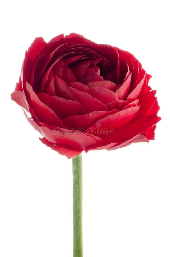 Download Flor do Eustoma imagem de stock. Imagem de isolado, mola - 29835287