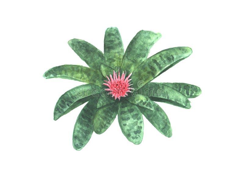 Flor do fasciata de Aechmea ilustração stock