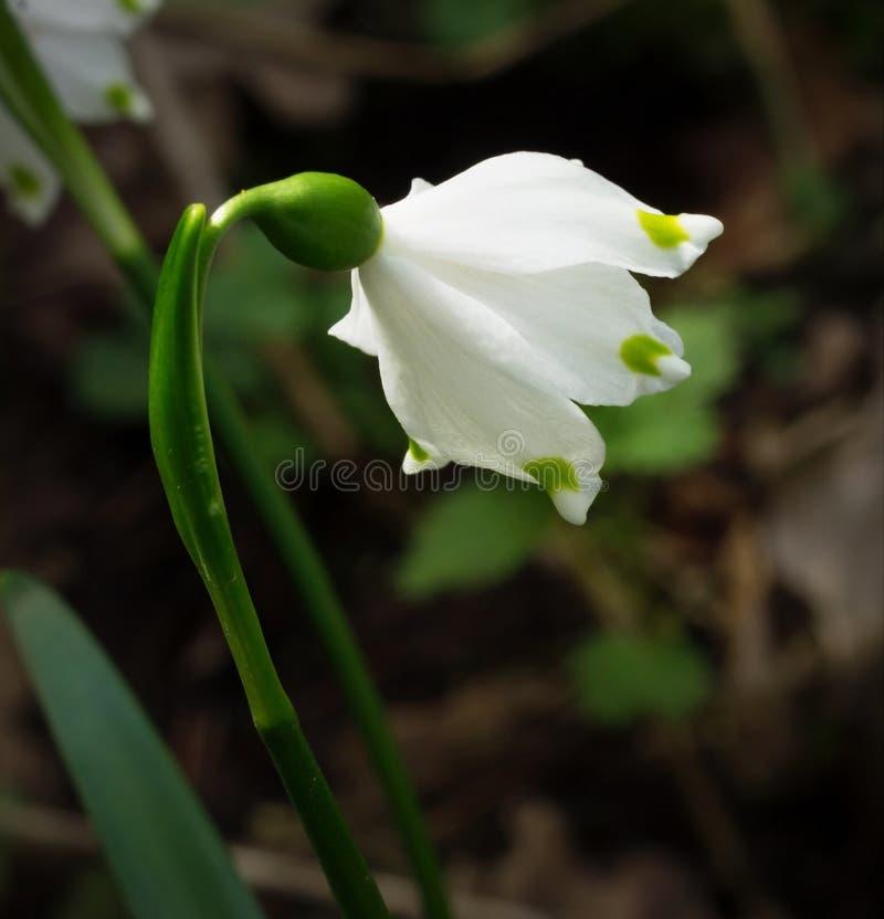 Flor do floco de neve imagem de stock royalty free