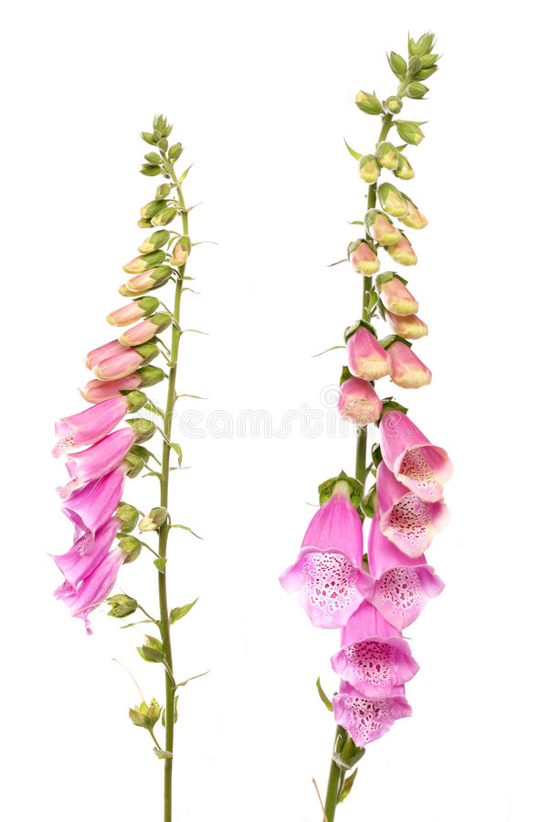 Flor do Foxglove foto de stock royalty free