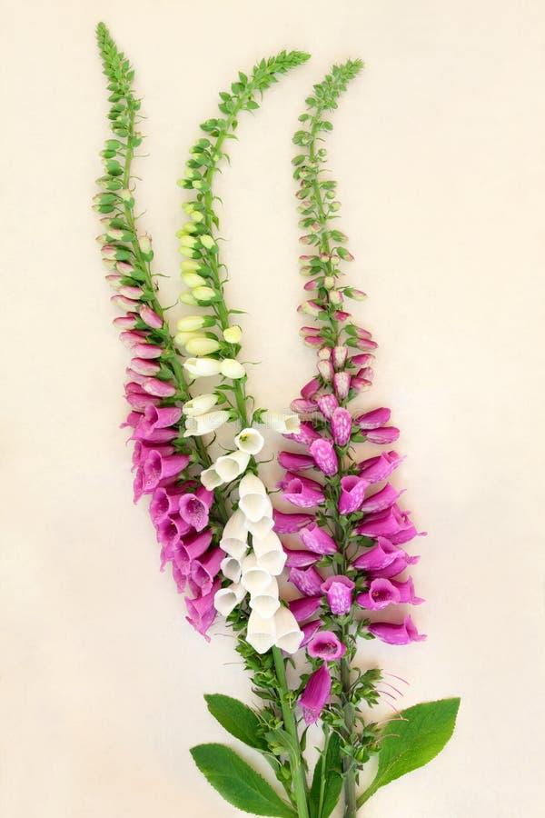 Flor do Foxglove (purpurea da digital) fotografia de stock