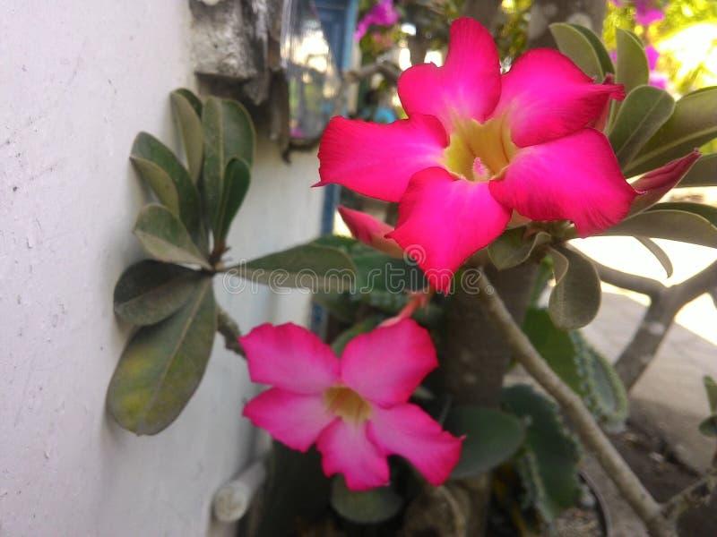 Flor do Frangipani fotos de stock