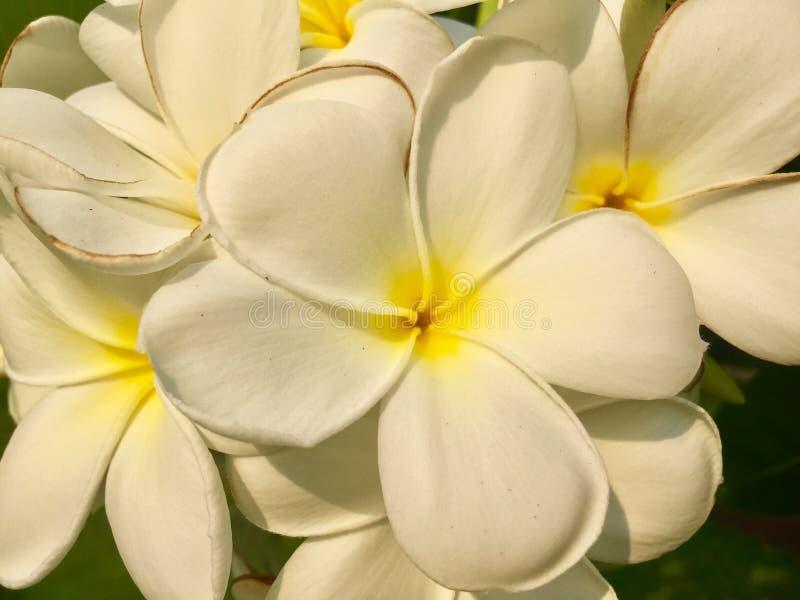 Flor do Frangipani foto de stock