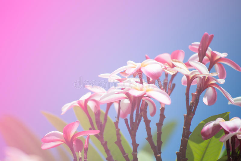 Flor do Frangipani fotografia de stock royalty free